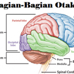 Bagian Organ Tubuh Manusia Gambar Penjelasan Fungsi