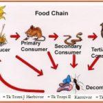 Pengertian Rantai Makanan Jaring-jaring Makanan dan Contoh