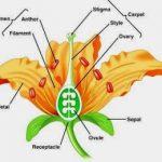 Pengertian,Ciri-ciri,Contoh,Angiospermae, Tumbuhan Biji Tertutup