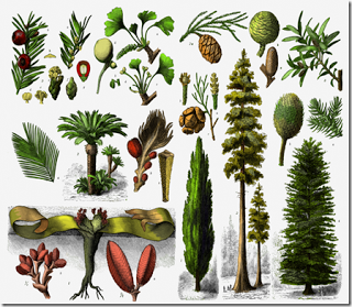 Ciri-ciri gymnospermae contoh dan gambarnya