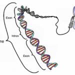 Pengertian Gen Fungsi Sifat Struktur