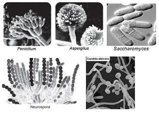 Ciri dan Klasifikasi Jamur, Pengertian,Struktur,Sistem ...