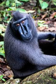 Hewan Langka Monyet Hitam Sulawesi