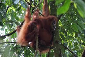 Hewan Langka Orangutan