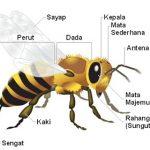 Sistem adaptasi lebah dan Klasifikasi Morfologi